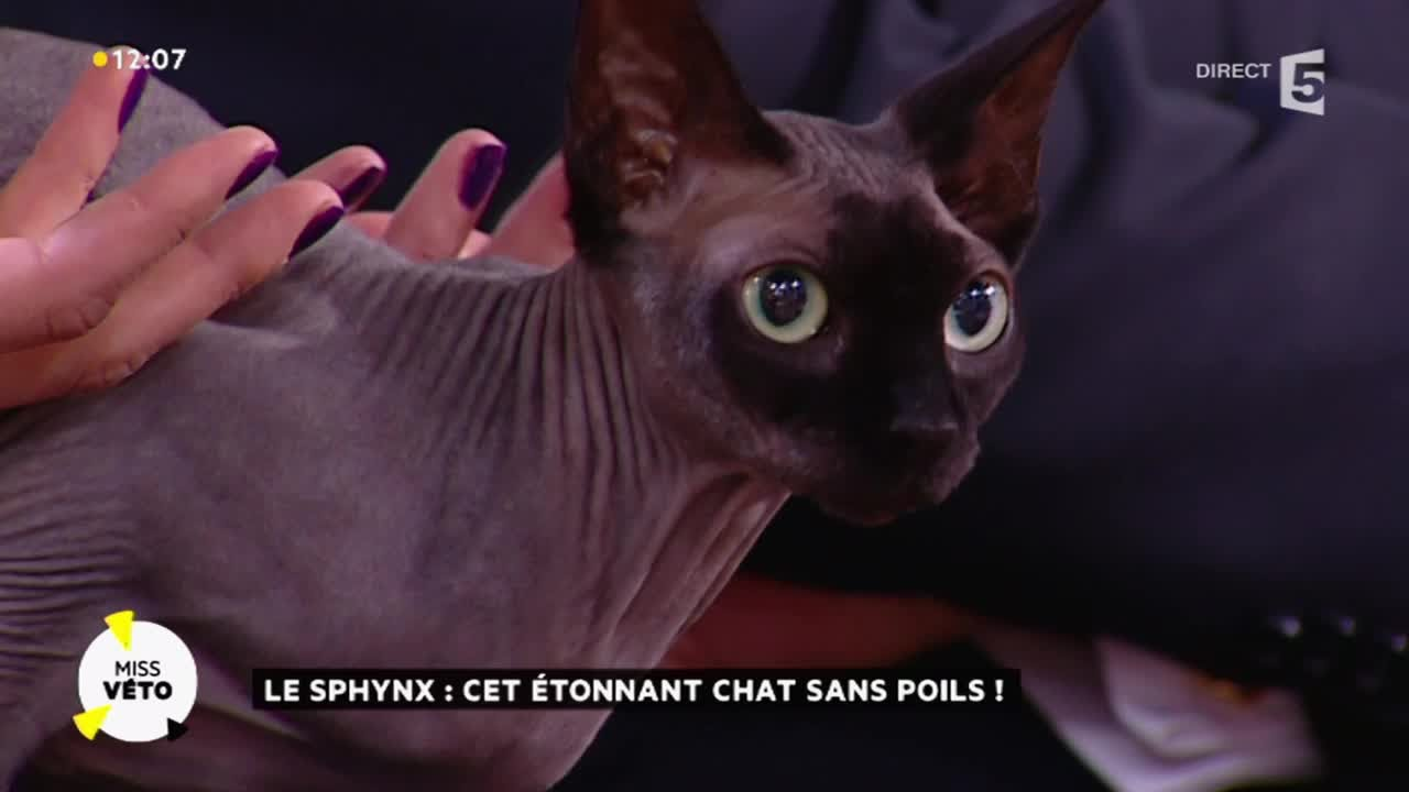 Super Le sphinx : cet étonnant chat sans poils ! - YouTube MY36