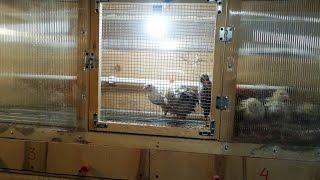 перевод цыплят в курятник при помощи брудера