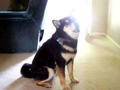 Kobe the talking Shiba Inu dog Says, 'I love You'