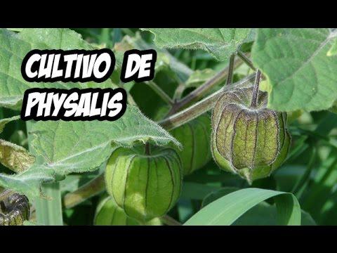 El Cultivo de Physalis o Tomatillo | Huerto Organico