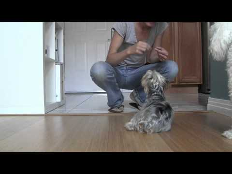 yorkshire-terrier:-obedience-training,-behavior-training