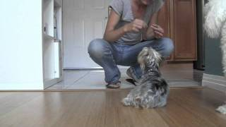 Yorkshire Terrier: Obedience Training, How To Train Stay (yorkie)