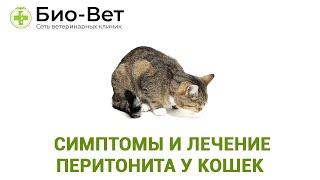 Перитонит У Кошек&  Симптомы И Лечение Перитонита У Кошек. Ветклиника Био-Вет