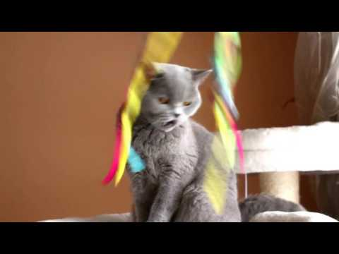British Shorthair girl kitten  Blueberry  Star-fall