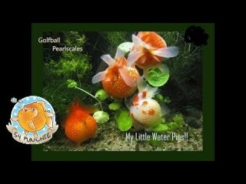 Pearlscale Goldfish -  My Little Water Pigs