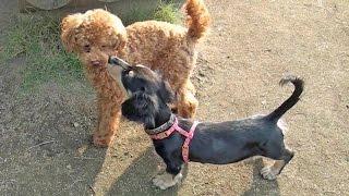 生後4か月のミニチュア・ダックスフンドの子犬と遊ぶトイプードル。 石...