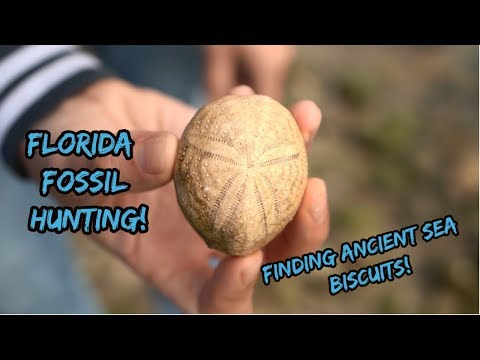 Florida Fossil Hunting For Ancient Sea Biscuits And Sand Dollars! (Echinoids)