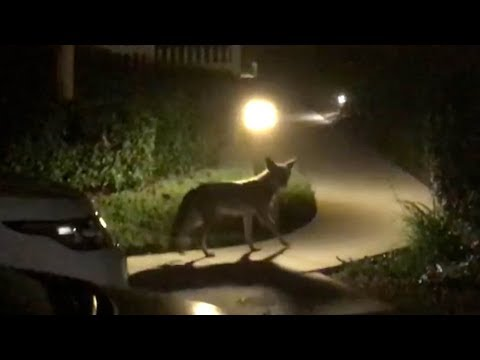 Watch this brazen coyote walk through a Ladera Ranch neighborhood
