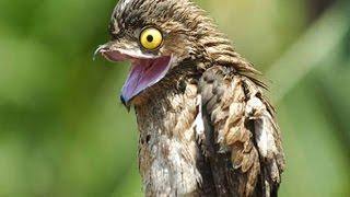 Козодой, птица пылесос или ночная ласточка?