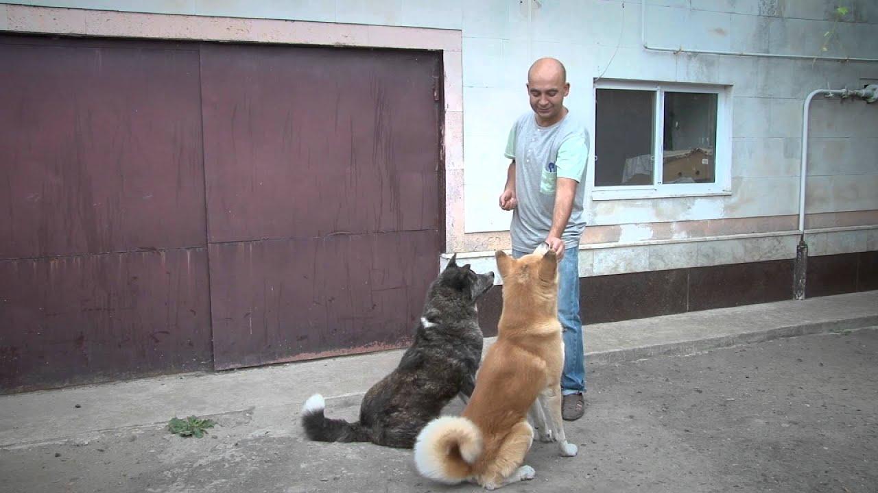 Утренний эфир / Порода собак акита-ину