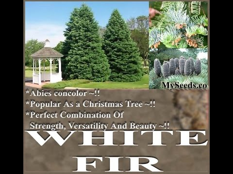Fir - White Fir, Concolor Fir -  Abies concolor Tree Seeds on  www.MySeeds.Co