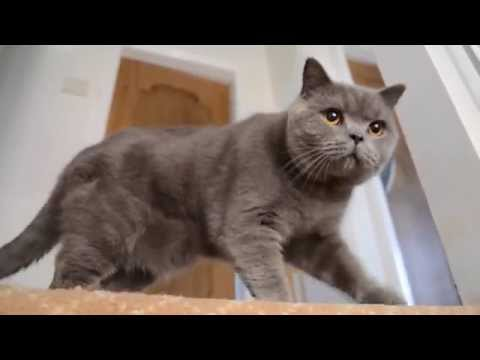 British Shorthair Cat (1 year old)
