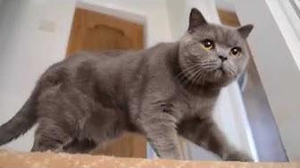 British Shorthair Cat (1 year old)