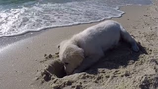 Puppy isn't happy when waves fill up his newly dug hole