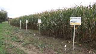 Video Uprawa kukurydzy w polu download MP3, 3GP, MP4, WEBM, AVI, FLV November 2017