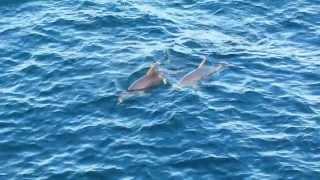 Black Sea dolphins FULL HD