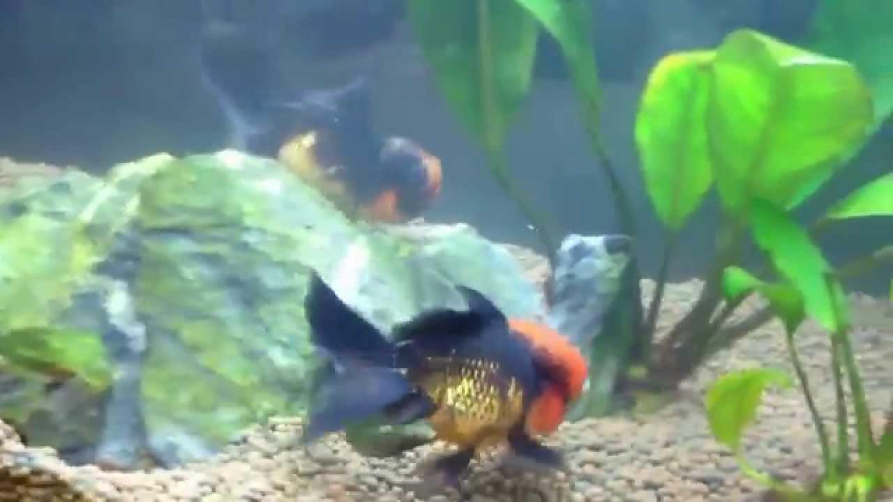 Nourrir des poissons rouges oranda en aquarium youtube for Nourrir des poissons rouges