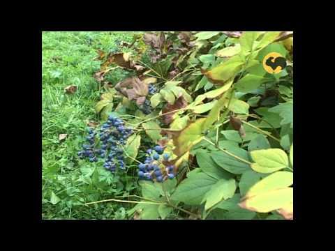 Сад и огород-109 Клопогон