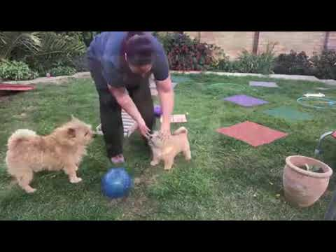 Ripley Norwich Terrier showreel age 19 weeks