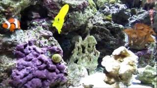 36 gallon corner reef tank