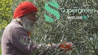 Potatura primaverile olivo di Gaeta con Ernesto - Poche semplici regole per potare un ulivo