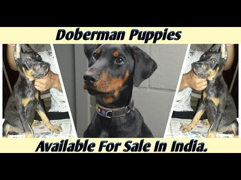 doberman-puppies-available-for-sale-in-india.