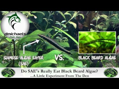 How Well Do Siamese Algae Eaters Eat Black Beard Algae? ...A Little Experiment From The Den