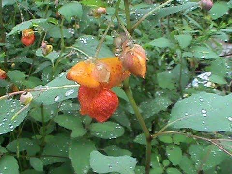 Jewelweed identification video.