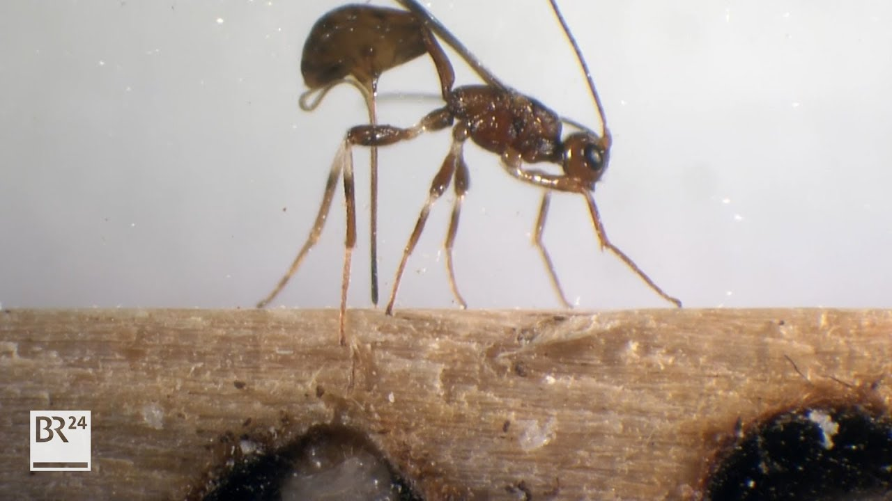 Wespen gegen Holzwurm