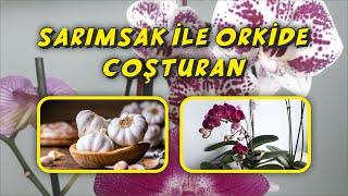 Açmayan Orkide Kalmasın,Orkide İçin Müthiş Etkili Uygulama,Sarımsak ile Orkide Coşturan,ORCHİDEE