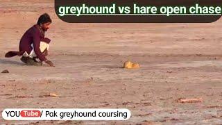 Greyhound coursing hare race \ Saluki dog chase rabbit صيد الارنب بي السلوقي ص
