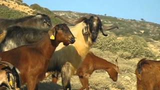 Mandragora Island Visual: immense goats herd passing me very close on my path, Sept 2o12 thumbnail