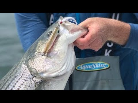 60 Second How-To: Topwater Striper Fishing Off Monomoy