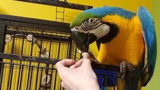 Попугай ара украл печенье