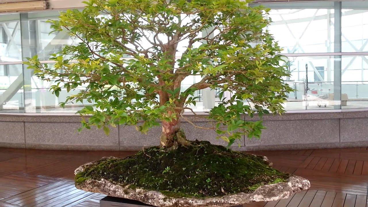 Bons i jaboticaba 25 a os de edad bonsai tipo laja de - Lajas de piedra ...