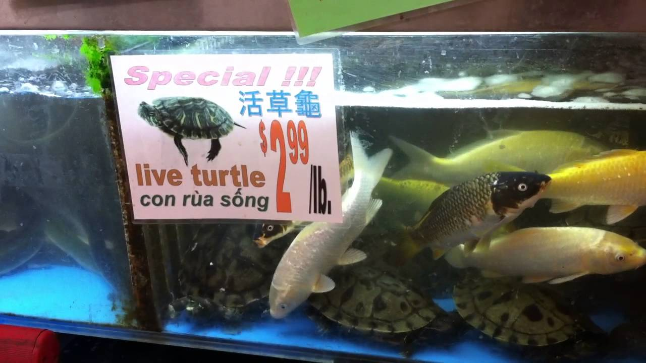 Cheap live koi fish turtle for sale at asian grocery for Pet koi fish tank