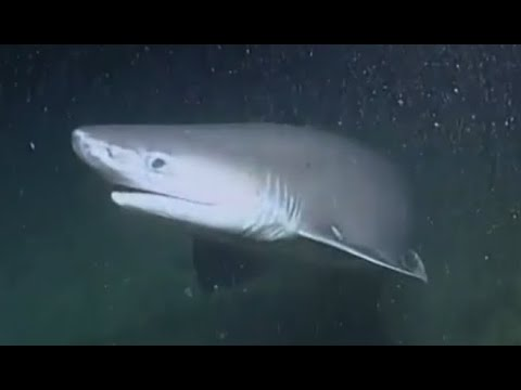 Facts: The Bluntnose Sixgill Shark