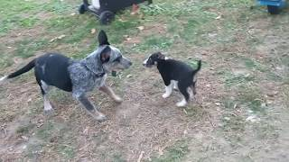 Jessie (blue heeler) Australian Cattle Dog