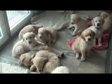Golden Retriever Welpen - puppies
