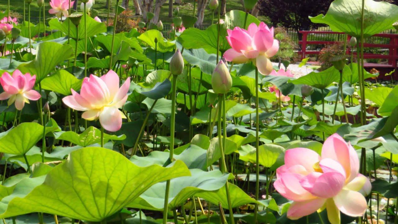 July 07 2013 Lotus Lilies In Doris Japanese Garden Kenneth Hahn