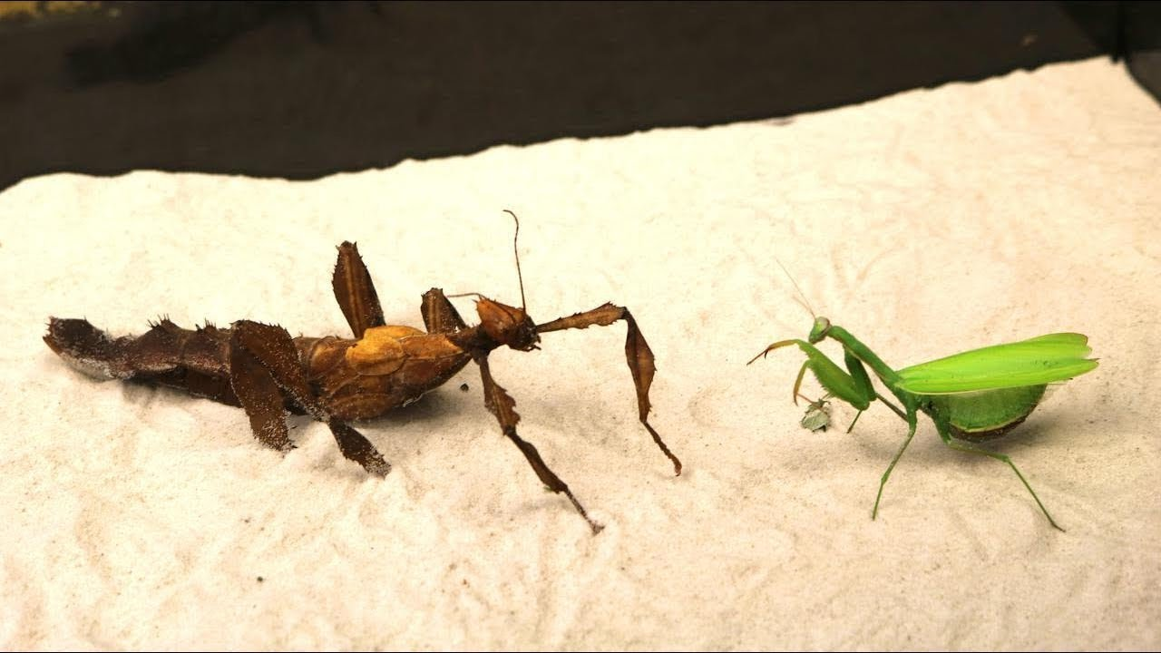 A Brutal Fight Of Mantises The Huge Walking Stick Frightened The