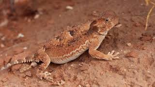 Horned Lizard   Horned lizards, as the name suggests, have a lot of horns all over their bodies.