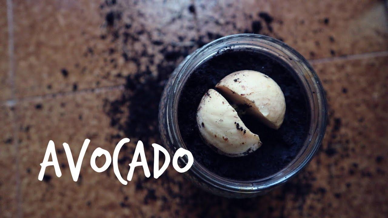 Nocciolo Di Avocado In Acqua come far germogliare un seme di avocado