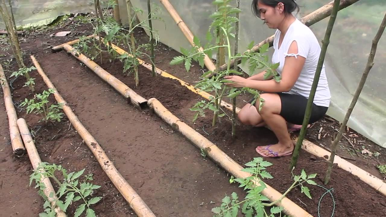 plantar tomates en invernadero