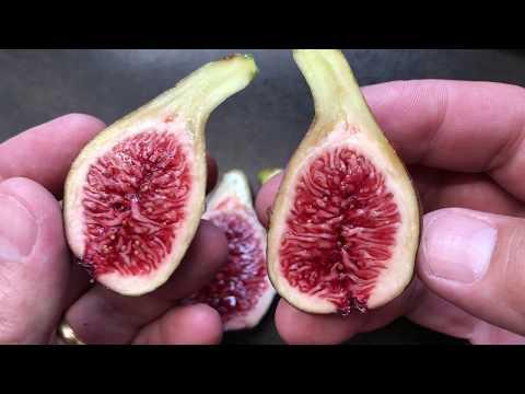 french fig farm: Col de Dame Noir
