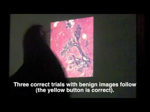 Pigeons Can Spot Breast Cancer in Medical Images | Science
