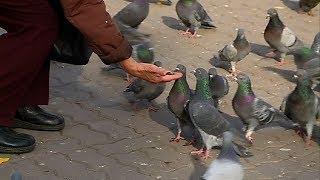 Орнитологи прокомментировали призыв новосибирской мэрии не кормить голубей   СТС-МИР.