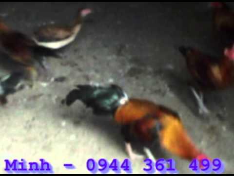 ga peru- trại gà đá-ĐT:0944 361 499.avi