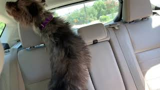 Cairn Terrier Ryker Comes Home (Adoption Day)
