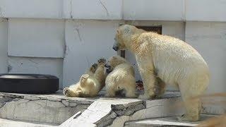 円山動物園のシロクマの双子の赤ちゃん。 飼育員さんからもらった鶏肉を...